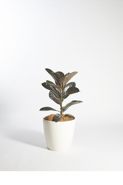 Ficus Elastica Red Rubber