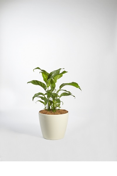 Spathiphyllum Petite (Peace Lilly)